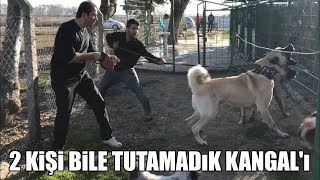 2 KİŞİ BİLE TUTAMADIK KANGALI !! ( Efsane Köpekler 7.BÖLÜM ) KANGAL #4 ( Strongest dogs ) Best dogs