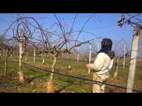 Potatura kiwi youtube for Potatura del melo