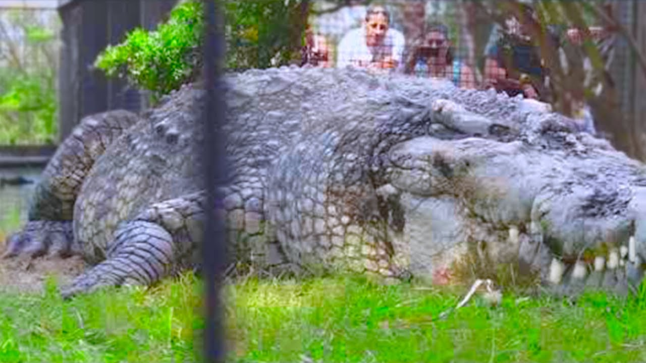 15 15 Abnormally Large Crocodiles That Actually Exist