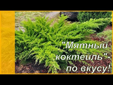 Кустарники хвойные - можжевельник Минт Джулеп в моем саду. Хвойные растения и садовый дизайн.