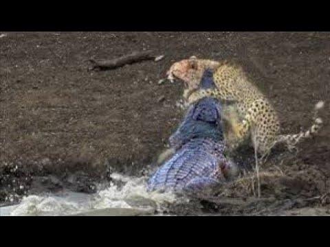 Download Mother Lion sacrifices himself to Save 2 Lion Cub across river   Crocodile is King River, Lion Lose