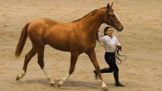 ДОНЧАК - золотая лошадь! #ИППОсфера 2019 Парад Пород /Редкая порода лошадей донская