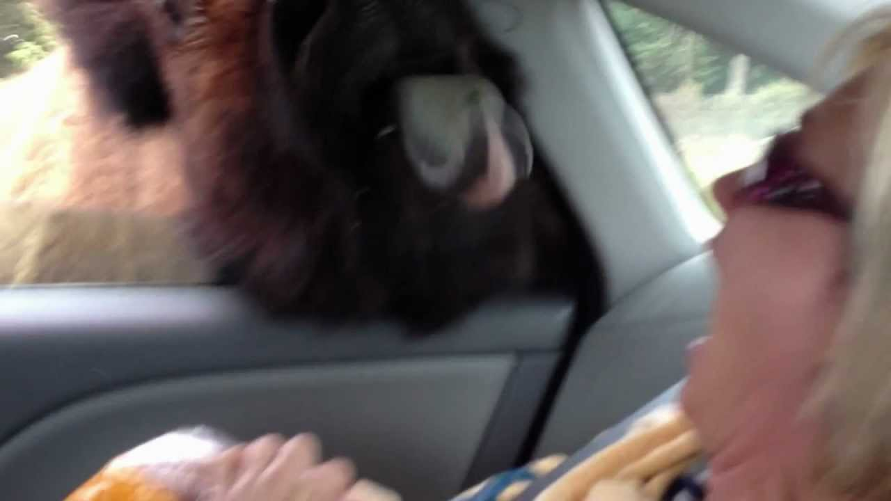 Funny Video: Hungry Buffalo Tries To Make Out With Woman