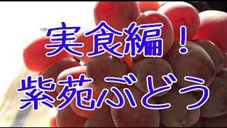 紫苑葡萄。実食編!岡山県産で冬が旬。お歳暮ギフト。種なしブドウ大房で高糖度約18度の葡萄。Japanese Shien Grapes
