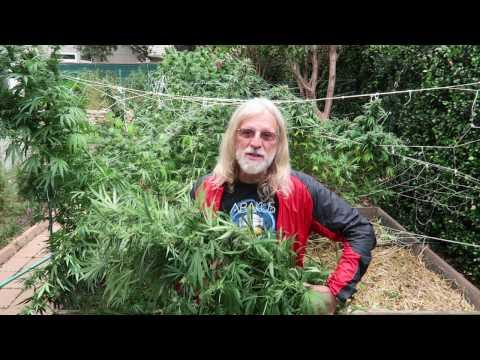 Grow Marijuana: Harvest Blue Dream Cannabis Flowers 5