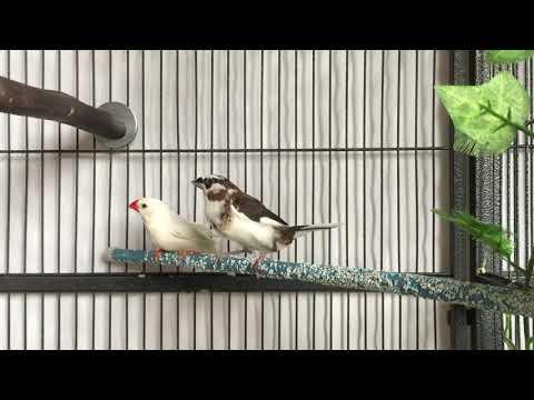 Society Finch Song
