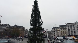Time lapse: 70ft Christmas tree raised in Trafalgar Square