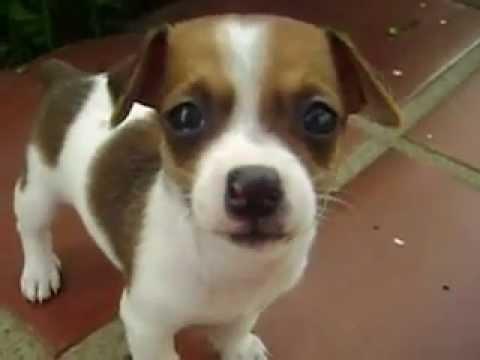 Cachorro pinscher com chiuaua