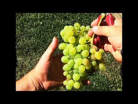 Cadeau: La mise en place d'un cordon de vigne 1ère année