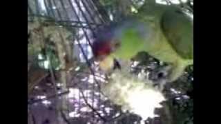 Dollar Parrot Finsch amazon  Loro Dollar amazona de Finsch