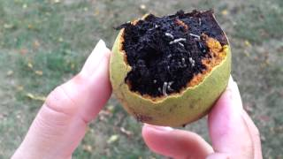 Walnut Husk Fly (rhagoletis Completa) Maggots - Worms In Green Balls That Smell Like Pine   1080hd