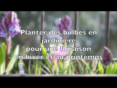 planter des bulbes en jardini re pour une floraison en hiver et au printemps youtube. Black Bedroom Furniture Sets. Home Design Ideas
