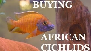 GUIDE TO BUYING AFRICAN CICHLIDS Part 1 Presented by KGTropicals