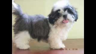 Shih Tzu For Sale - Manila