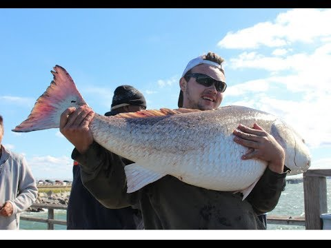 MONSTER BULL RED DRUMS CAUGHT On Chesapeake Bay Pier - 50