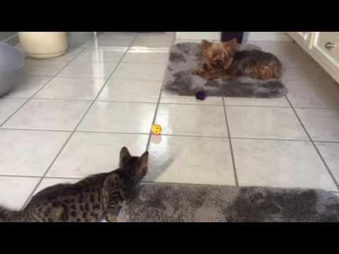 Foster kitten meets my Yorkie