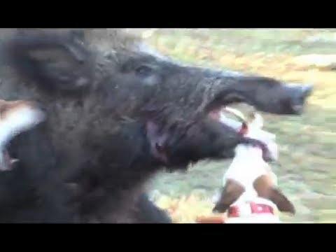 Jack Russell vs Giant Wild Boar Hog, Little Dog Fights Big ... Giant Wild Boars In Asia
