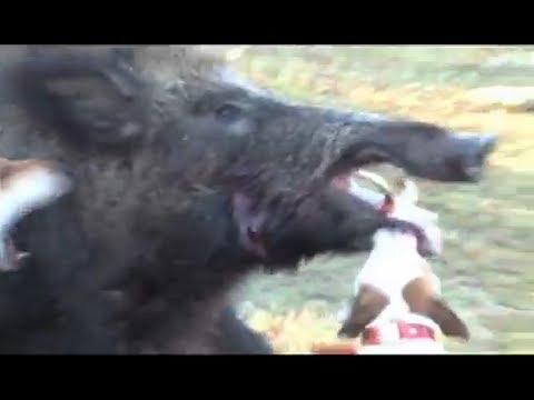 Jack Russell vs Giant Wild Boar Hog, Little Dog Fights Big ... Giant Wild Boar Photos