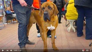 Собака - слон. ТОСА-ИНУ Исаму. Huge dogs Tosa Isamu. Dog - the elephant.