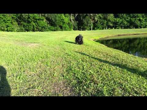 Black Puli running