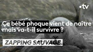 Ce bébé phoque va-t-il survivre ? - ZAPPING SAUVAGE