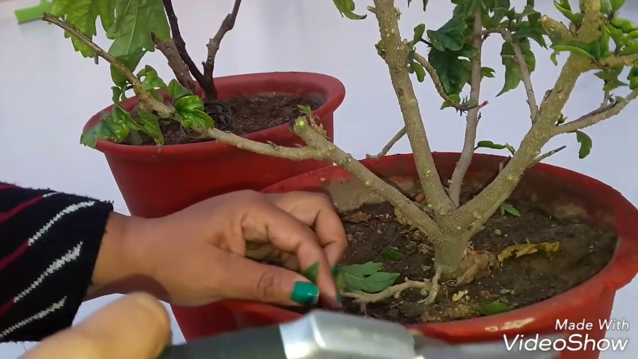 How To Prune Hibiscus Pruning Hibisucs How To Grow Hibiscus From