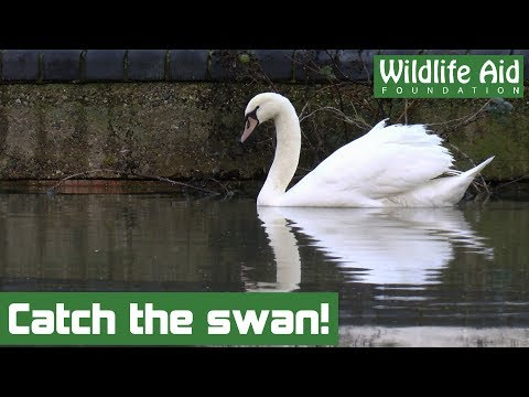 Crashed swan given a second chance in the wild!