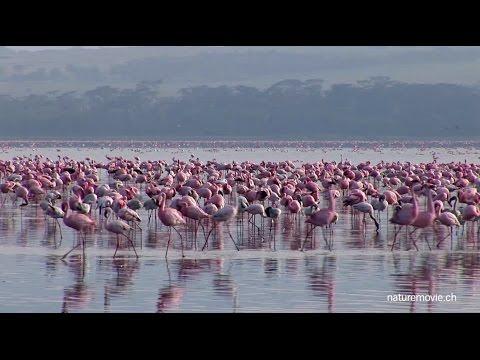 Flamingo, Lake Nakuru