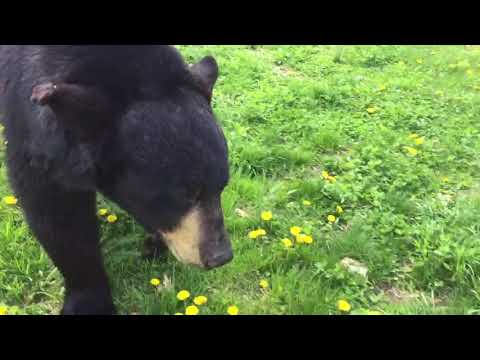 You can really see the difference between black bears body style and brown bears in this video