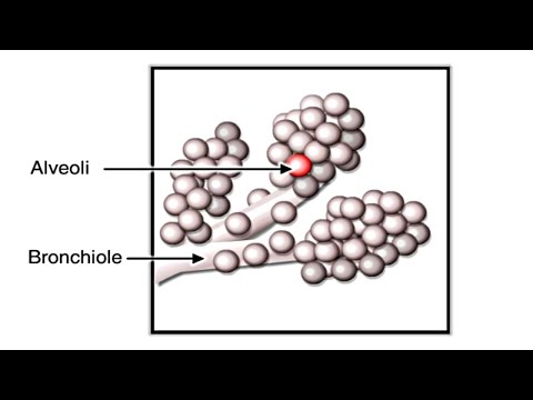 Gas Exchange in Alveoli Animation - Pathway of Air through Respiratory System Video – How Lungs Work