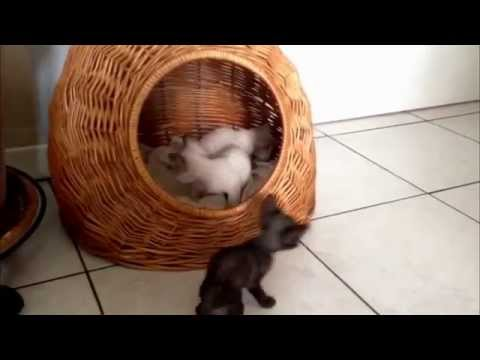 Three sweet Devon Rex kittens 30 days old! Bosco di Stelle Cattery - Milano - Italy