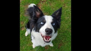 Dash - 11 Month Old Border Collie - 2 Weeks Intensive Board & Train Course