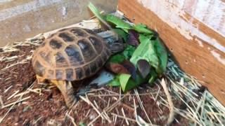 Russian Tortoise Habitat