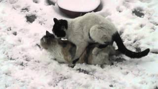 Коты занимаются любовью.