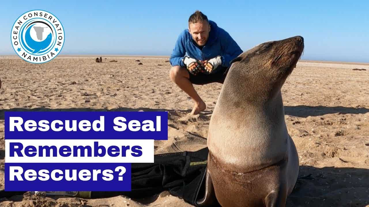 Rescued Seal Remembers Rescuers?