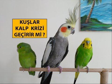 Kuşlar Kalp Krizi Geçirir Mi