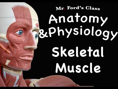 Muscular System : Skeletal Muscle (09:02)