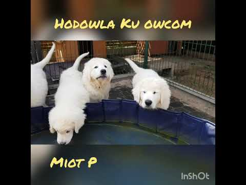 Owczarek podhalański - zabawa w basenie