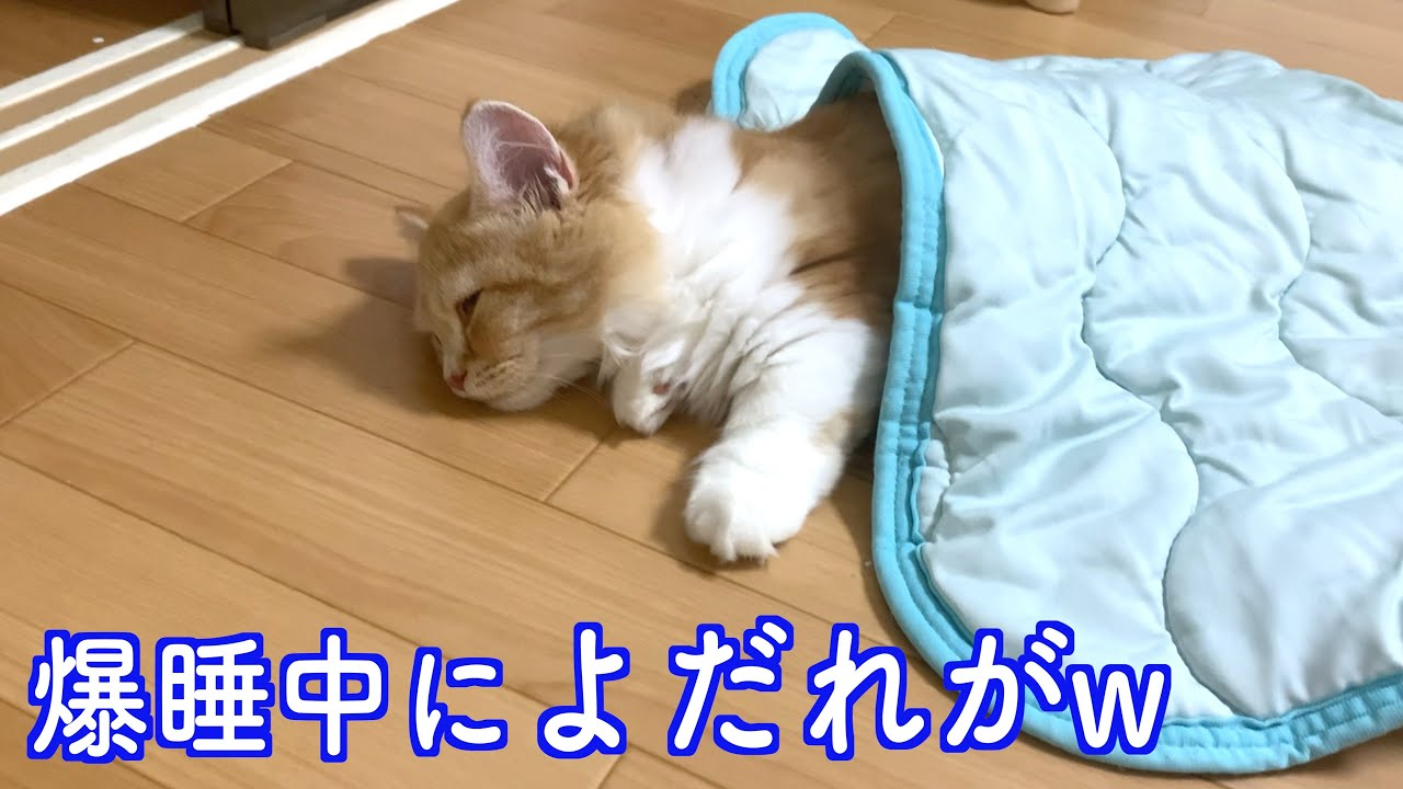 我が家の子猫は人間の子供のように寝ます(マンチカン)