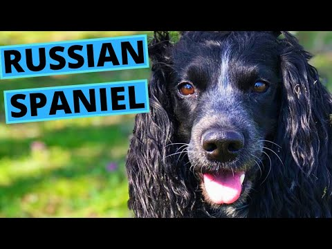 Russian Spaniel Dog Breed  Facts and Information
