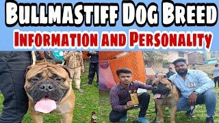The Bullmastiff is a largesized breed of domestic dog|Bullmastiff|Dog show|jerman seaford |The dog
