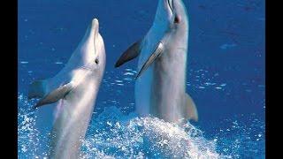 Прикольное видео Дельфины поют и танцуют вальс(Прикольное видео.Дельфины поют и танцуют вальс Заказать видео http://videorel.com/ ..., 2015-06-06T16:33:40.000Z)