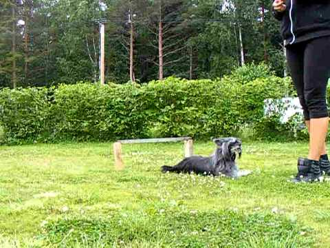 12 year old Chinese crested Troll (Flywheel's Beauty) showing some tricks, Kennel Sirocco