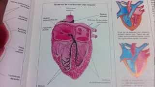 Circulacion mayor y menor del corazón