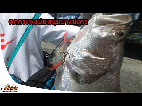 ตกปลากระพง บ่อหนุ่มบางปะกง,fishing barramundi fish