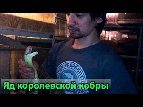 Кормление королевской кобры тигровым питоном Hypo - YouTube