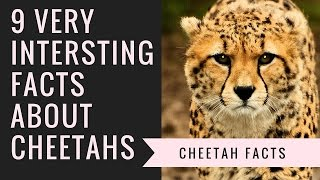 Cheetah Facts | Interesting Facts About Cheetah