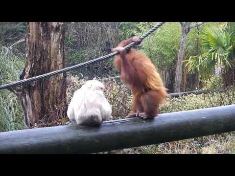 Kea the Sumatran Orangutan & Hazel the Gibbon at Jersey Zoo