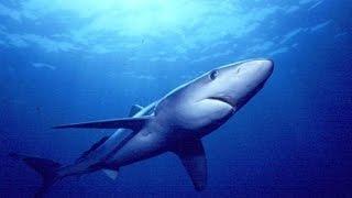 Голубая акула в Крыму !!!