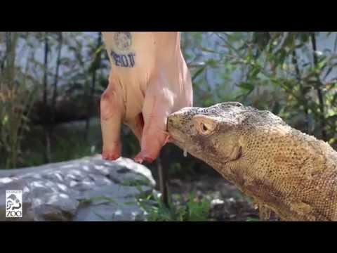 The Komodo & The Pig